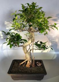 Ficus Retusa Bonsai Tree<br>Curved Trunk &  Banyan Roots<br><i>(ficus retusa)</i>