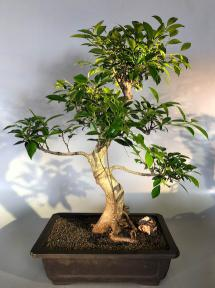 Ficus Retusa Bonsai Tree<br>Curved Trunk & Exposed Roots<br><i>(ficus retusa)</i>