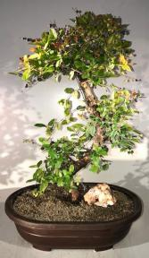 Flowering Sweet Plum Bonsai Tree<br><i>Curved Trunk Style<br>(sageretia theezans)</i>