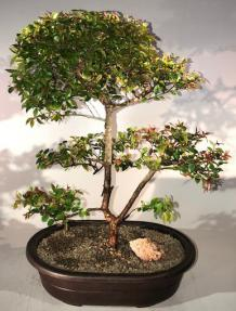 Flowering Sweet Plum Bonsai Tree<br><i>Tiered Branching Style<br>(sageretia theezans)</i>