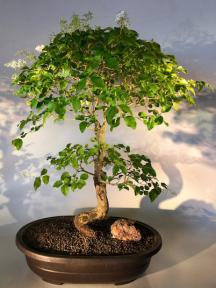 Flowering Ligustrum Bonsai Tree<br>Curved Trunk Style<br><i>(ligustrum lucidum)</i>