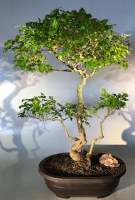 Flowering Ligustrum Bonsai Tree<br>Curved Trunk Style<br><i>(ligustrum lucidum)</i>