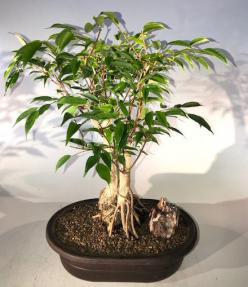 Oriental Ficus Bonsai Tree<br> Exposed Root Style<br><i></i>(ficus orientalis)