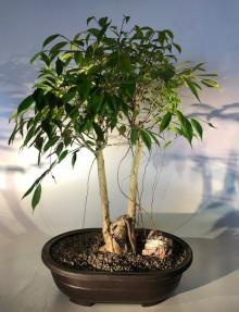 Oriental Ficus Bonsai Tree<br>Exposed & Banyan Style Roots<br><i></i>(ficus orientalis)