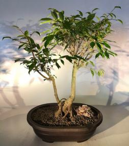 Oriental Ficus Bonsai Tree<br>Exposed Root Style<br><i></i>(ficus orientalis)