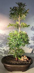 Flowering Brush Cherry Bonsai Tree<br>Tiered Branching Style<br><i>(eugenia myrtifolia)</i>