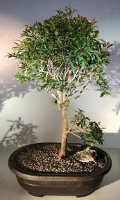 Flowering Brush Cherry Bonsai Tree<br><i>(eugenia myrtifolia)</i>
