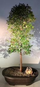 Flowering Brush Cherry Bonsai Tree<br><i>(eugenia myrtifolia)</i>