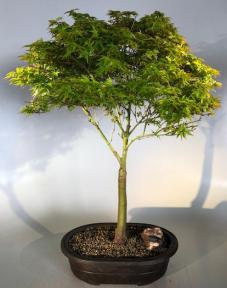 Dwarf Japanese Maple Bonsai Tree <br><i>(acer palmatum 'Capercis Dwarf')</i>