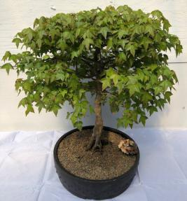 Trident Maple Bonsai Tree<br>Exposed Roots<br><i> (acer buergerianum)</i>