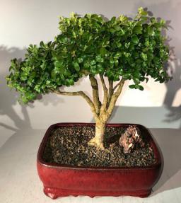Japanese Boxwood Bonsai Tree<br><i>(Boxus 'moris midget')</i>