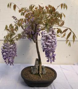 Flowering Japanese Wisteria Bonsai Tree<br>Root Over Rock<br><i>(wisteria floribunda)</i>