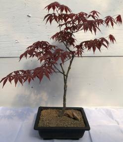 Japanese Red Maple Bonsai Tree<br><i>(acer palmatum
