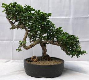 Flowering Fukien Tea Bonsai Tree - Cascade Style<br><i>(ehretia microphylla)</i>