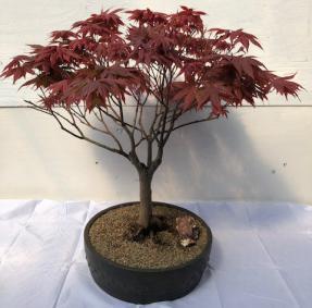 Japanese Red Maple Bonsai Tree<br><i>(acer palmatum 'Rhode Island Red)</i>