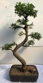 Chinese Elm Bonsai Tree <br>Curved Trunk & Tiered Branching Style<br><i>(ulmus parvifolia)</i>