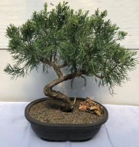 Shimpaku Juniper Bonsai Tree<br><i>(juniper chinensis 'shimpaku')</i>
