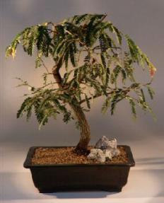 Tamarind Bonsai Tree Tamarindus Indica
