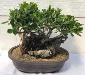 Green Island Ficus Bonsai Tree<br>Root Over Rock Style<br><i>(ficus microcarpa)</i>
