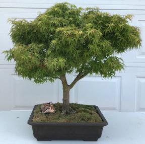 Dwarf Japanese Maple Bonsai Tree<br>(acer palmatum