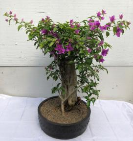 Flowering Bougainvillea Bonsai Tree <br><i>(Pink Pixie)</i>