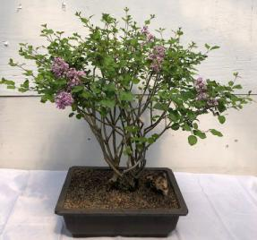 Flowering Dwarf Korean Lilac Bonsai Tree <br><i>(syringa palabiniana)</i>