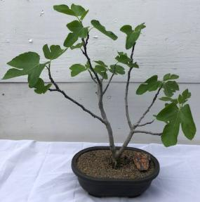 Brown Turkey Fig Bonsai Tree<br><i>(ficus carica)</i>