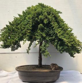 Weeping Juniper Bonsai Tree<br><i>(juniper procumbens nana)</i>