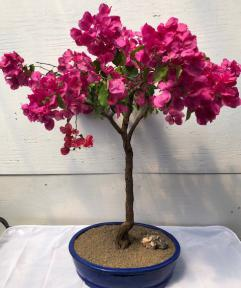 Flowering Bougainvillea Bonsai Tree<br><i>(pink pixie)</i>