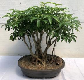 Hawaiian Umbrella Bonsai Tree<br><i></i>Banyan Style<br><i></i>(arboricola schfflera)