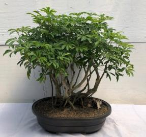 Hawaiian Umbrella Bonsai Tree<br><i></i>Banyan Style<br><i></i>(arboricola schfflera)