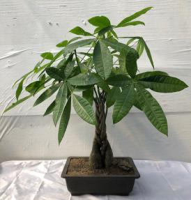 Braided Money Bonsai Tree<br>'Good Luck Tree'<br>(pachira aquatica)
