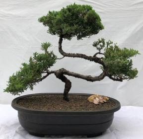 Juniper Bonsai Tree - Trained <br><i>(juniper procumbens nana)