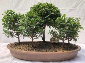 Flowering Brush Cherry Bonsai Tree <br>Five (5) Tree Forest Group <br><i>(eugenia myrtifolia)</i>