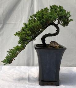 Juniper Bonsai Tree<br>Cascade Style<br><i>(juniper procumbens nana)</i>