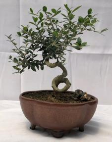 Flowering & Fruiting European Olive Bonsai Tree<br><i>Coiled Trunk Style(olea europaea