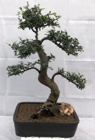 Chinese Elm Bonsai Tree<br>Curved Trunk & Tiered Branching<br><i>(ulmus parvifolia)</i>