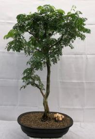 Flowering Brazilian Raintree Bonsai Tree <br><i>(pithecellobium tortum)</i>