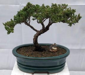 Juniper Bonsai Tree - Trained <br><i>(juniper procumbens nana)</i>