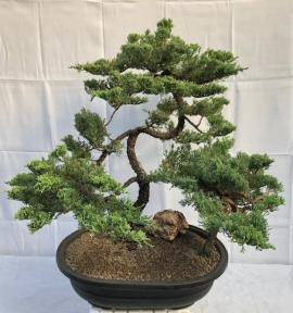 Juniper Bonsai Tree - Trained<br>Tiered Branching Style<br><i>(juniper procumbens nana)</i>