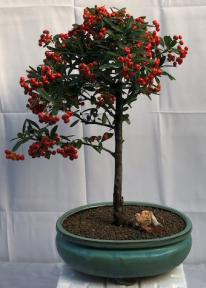 Flowering Pyracantha Bonsai Tree<br><i>(pyracantha 'mohave')</i>