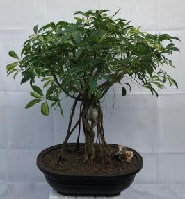 Hawaiian Umbrella Bonsai Tree - Variegated<br>Banyan / Braided Trunk Style With Golf Ball<br>(arboricola schfflera)