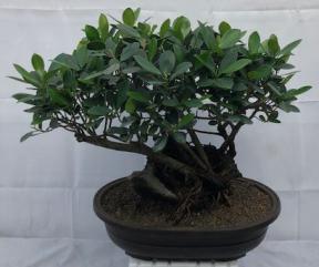 Green Island Ficus Bonsai Tree<br>Root Over Rock Style<br><i>(ficus microcarpa)</i>