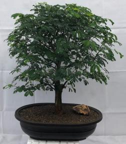 Flowering Brazilian Raintree Bonsai Tree<br><i>(pithecellobium tortum)</i>