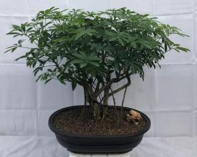 Hawaiian Umbrella Bonsai Tree<br>Banyan Style<br>(arboricola schfflera)