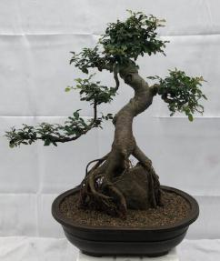 Chinese Elm Bonsai Tree<br>Curved Trunk & Root Over Rock Style<br><i>(ulmus parvifolia)</i>