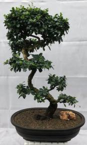 Flowering Fukien Tea Bonsai Tree<br>Curved Trunk & Tiered Branching<br><i>(ehretia microphylla)</i>