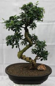 Flowering Fukien Tea Bonsai Tree<br>Curved Trunk & Tiered Branching<br><i>(ehretia microphylla)</i>