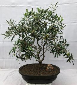 Flowering & Fruiting European Olive Bonsai Tree<br><i>(olea europaea