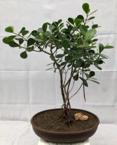 Flowering Tropical Dwarf Apple Bonsai Tree<br>Banyan Style<br><i>(clusia rosea 'nana')</i>